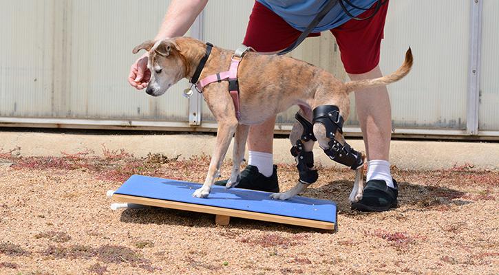 Dog Rehabilitation exercise on rocker board for dog with 2 ortho